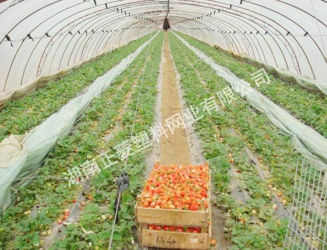 湖南岳阳市草莓园防虫网案例